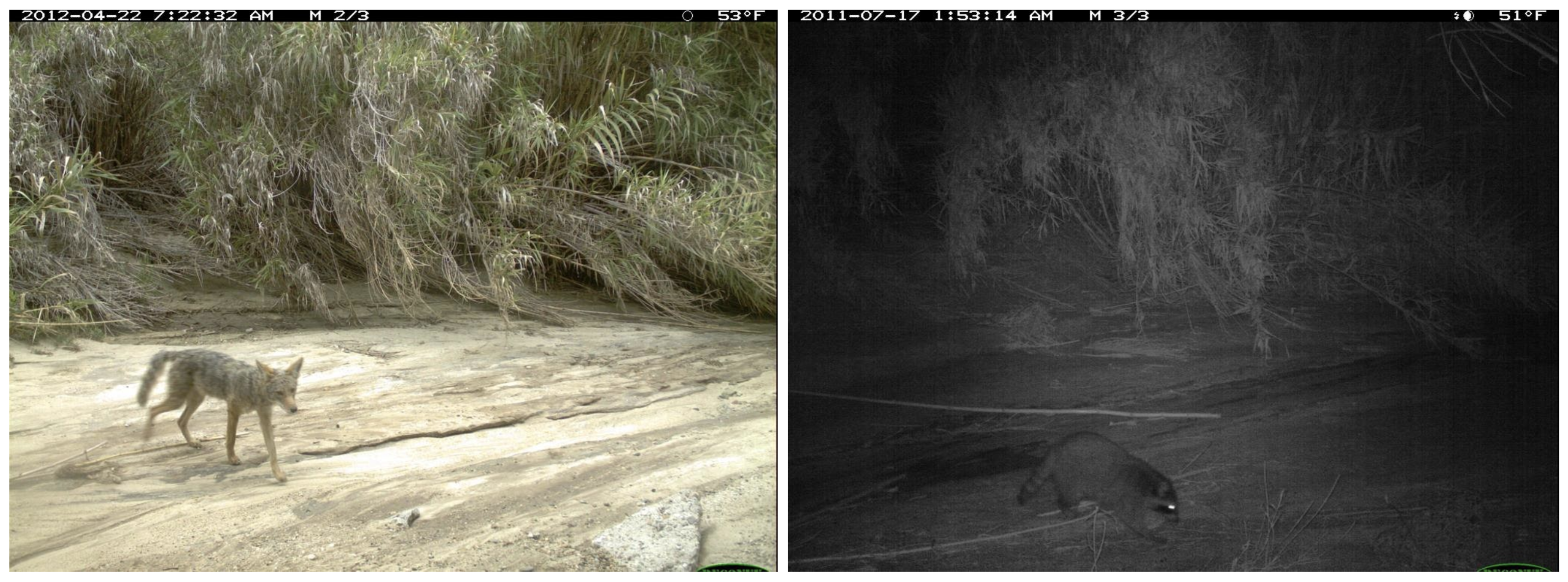 Left, a coyote in its natural environment. Right, a raccoon in the same location at night. Image credit: The iWildCam 2019 Challenge Dataset, used under the Community Data License Agreement.
